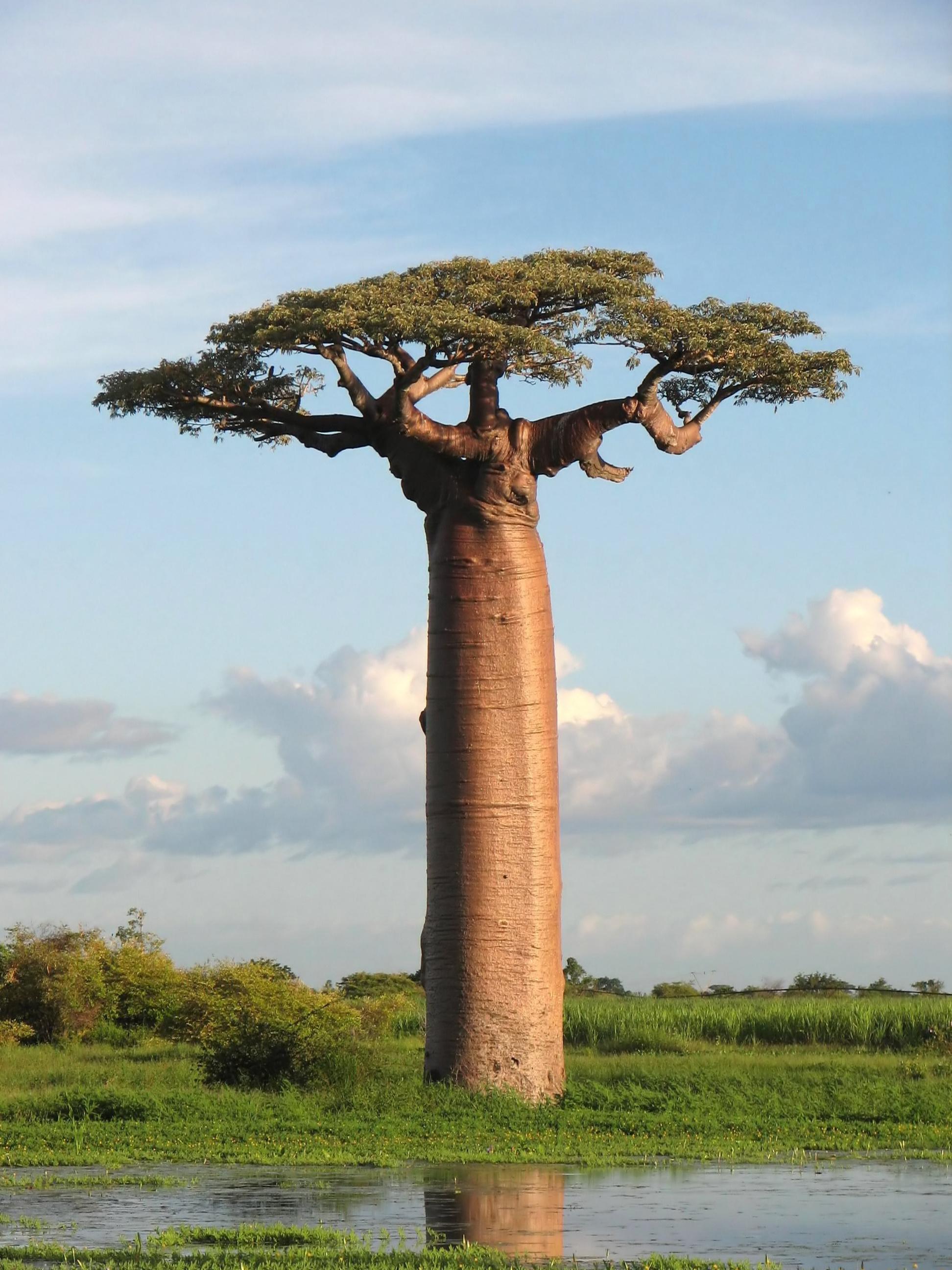Baobab Tree HD wallpapers, Desktop wallpaper - most viewed