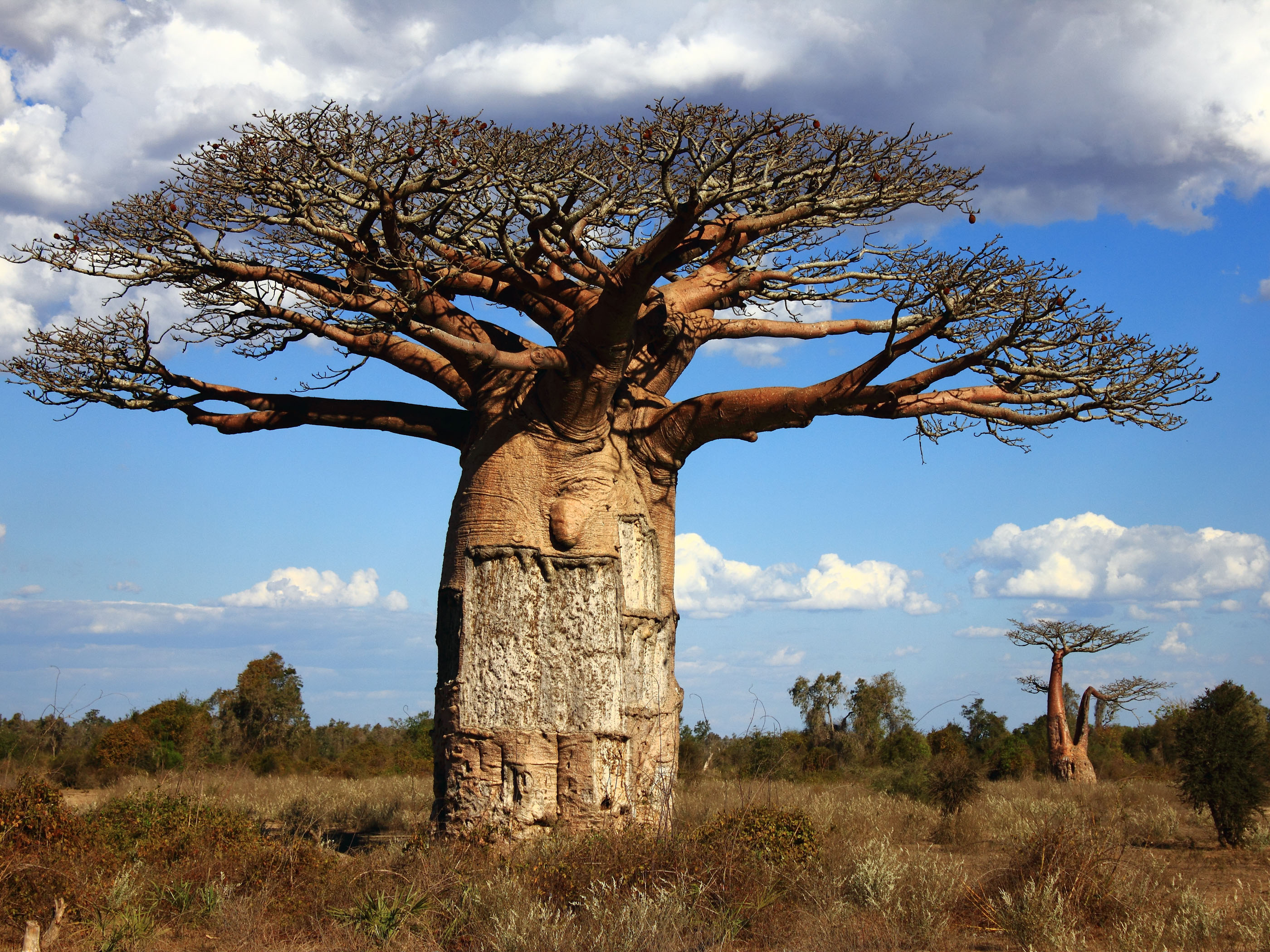 Baobab Tree High Quality Background on Wallpapers Vista