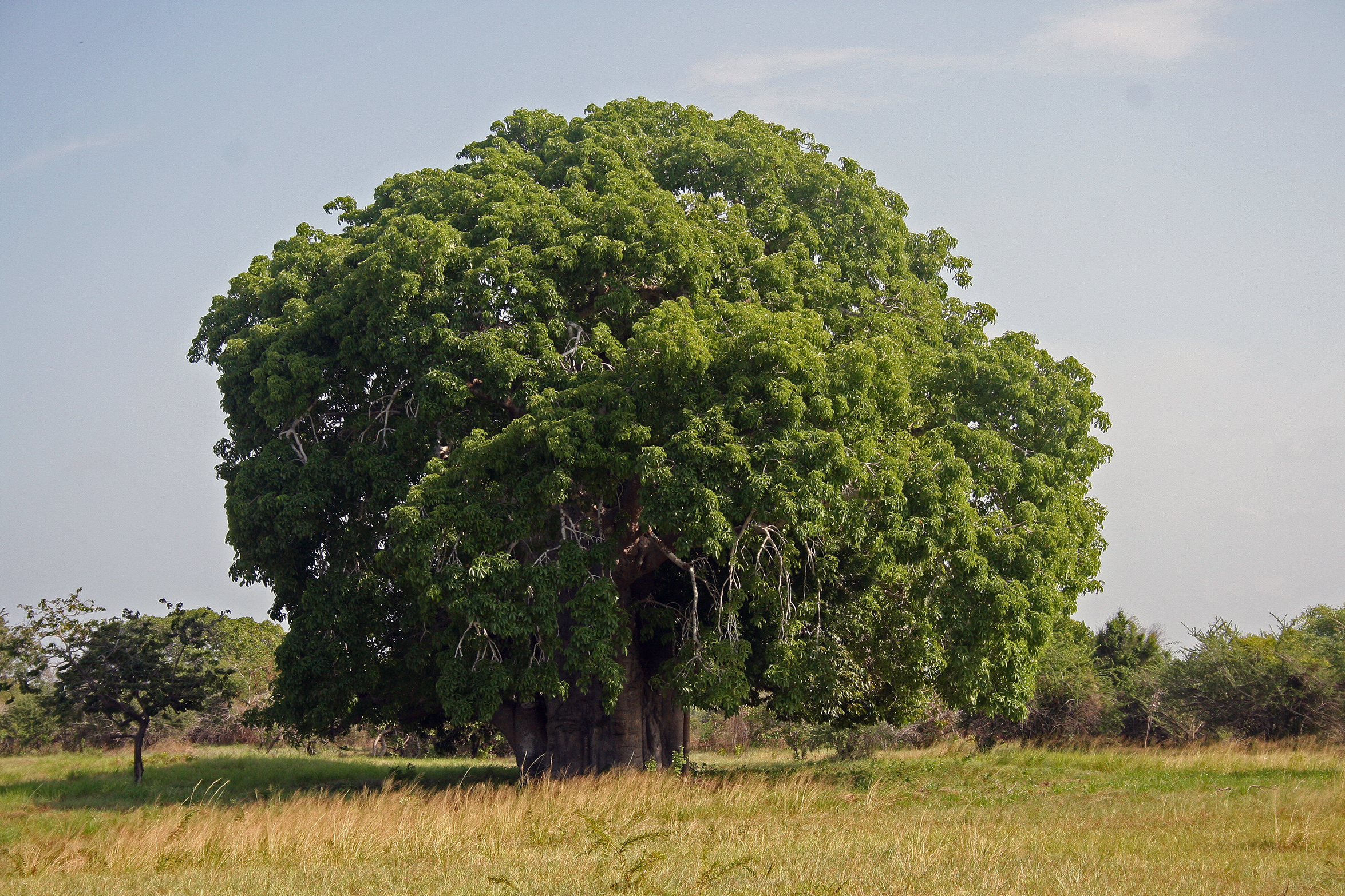 HD Quality Wallpaper | Collection: Earth, 2350x1567 Baobab Tree