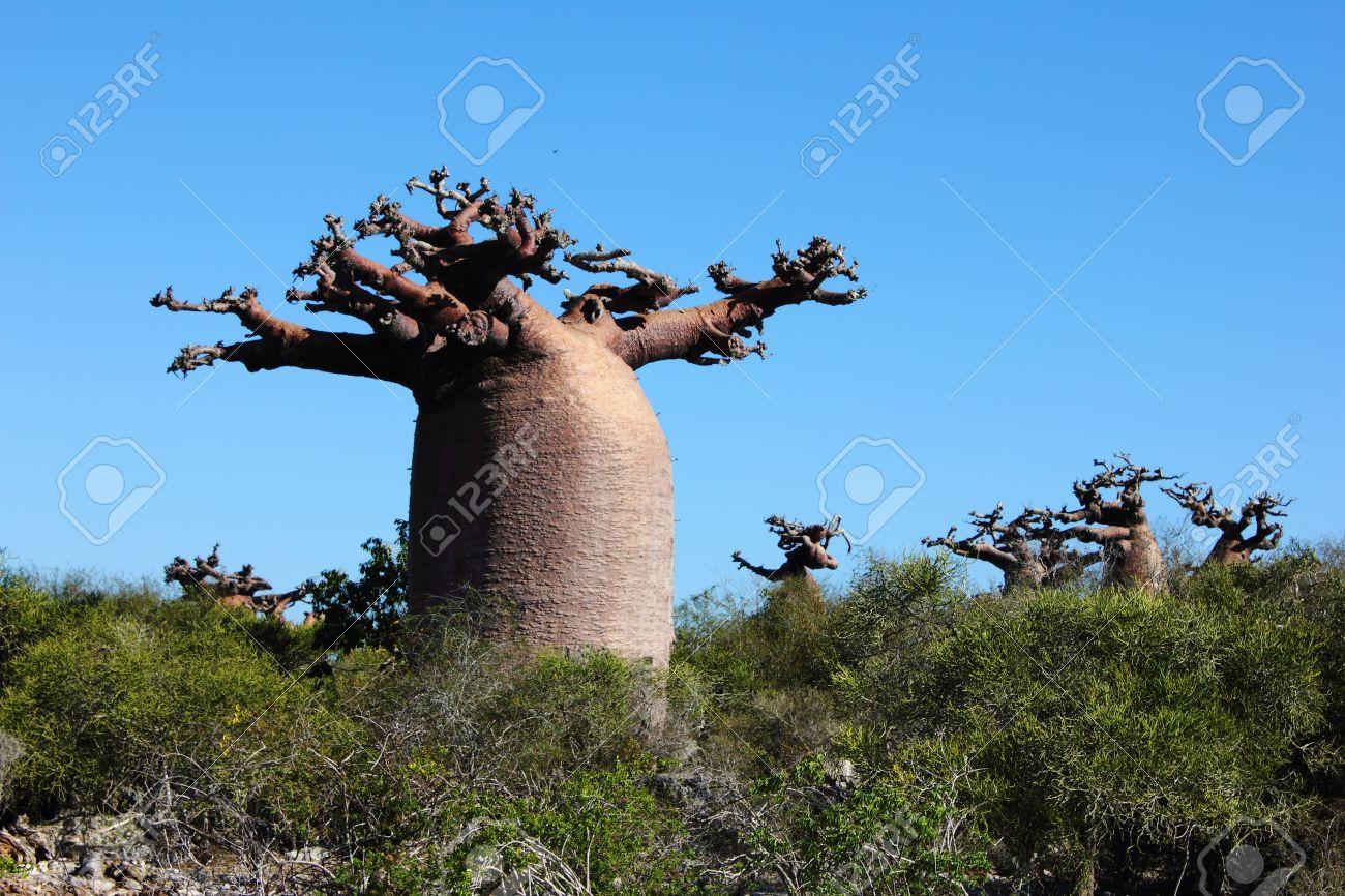 High Resolution Wallpaper | Baobab Tree 1300x866 px