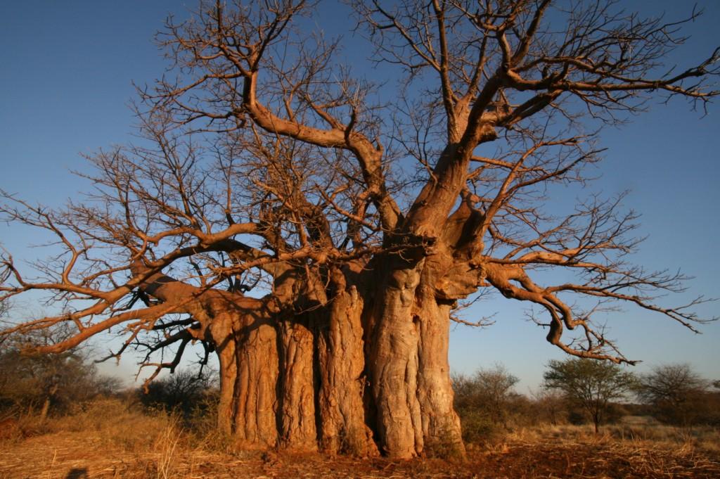 Images of Baobab Tree | 1024x681