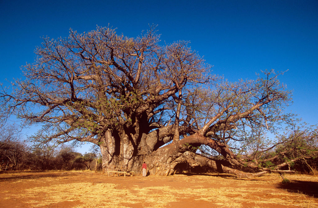 Baobab Tree Backgrounds, Compatible - PC, Mobile, Gadgets| 1024x669 px