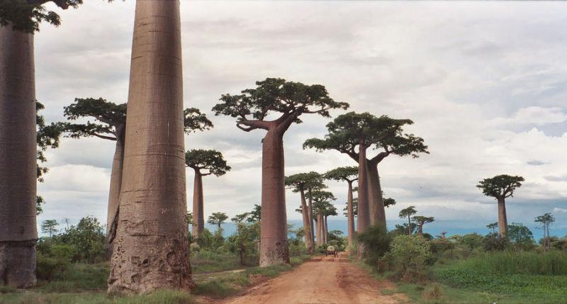 Baobab Tree Pics, Earth Collection