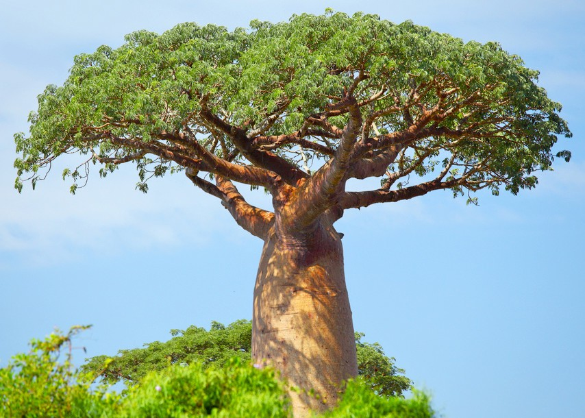 Baobab Tree Backgrounds on Wallpapers Vista