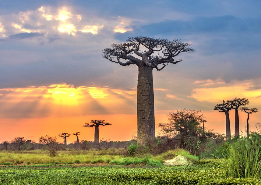 Nice Images Collection: Baobab Tree Desktop Wallpapers