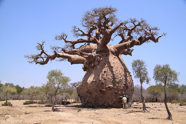 High Resolution Wallpaper | Baobab Tree 615x410 px