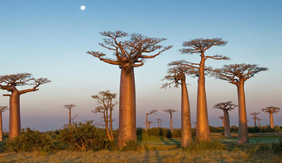 Amazing Baobab Tree Pictures & Backgrounds