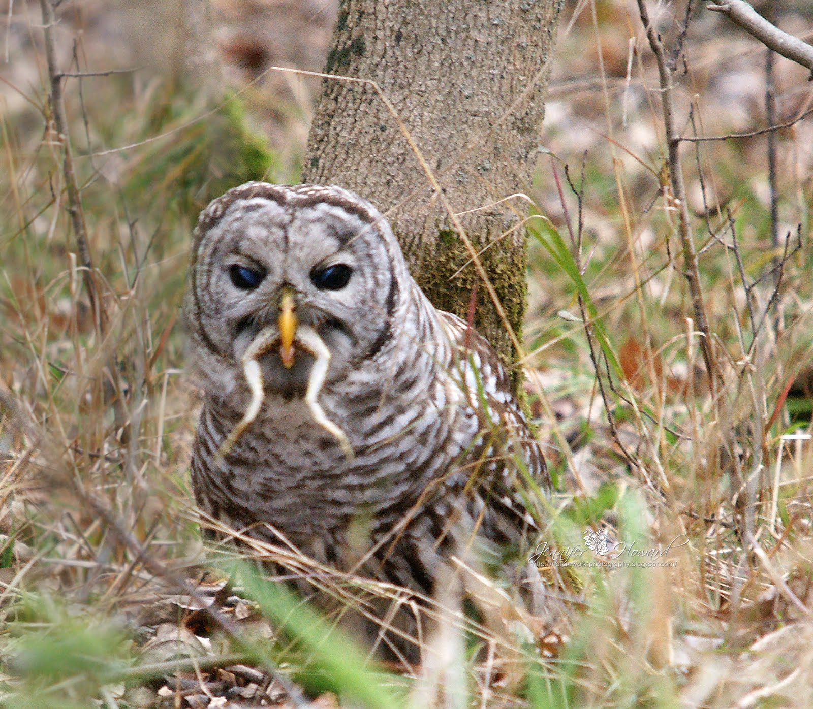 Barred Owl wallpapers, Animal, HQ Barred Owl pictures | 4K