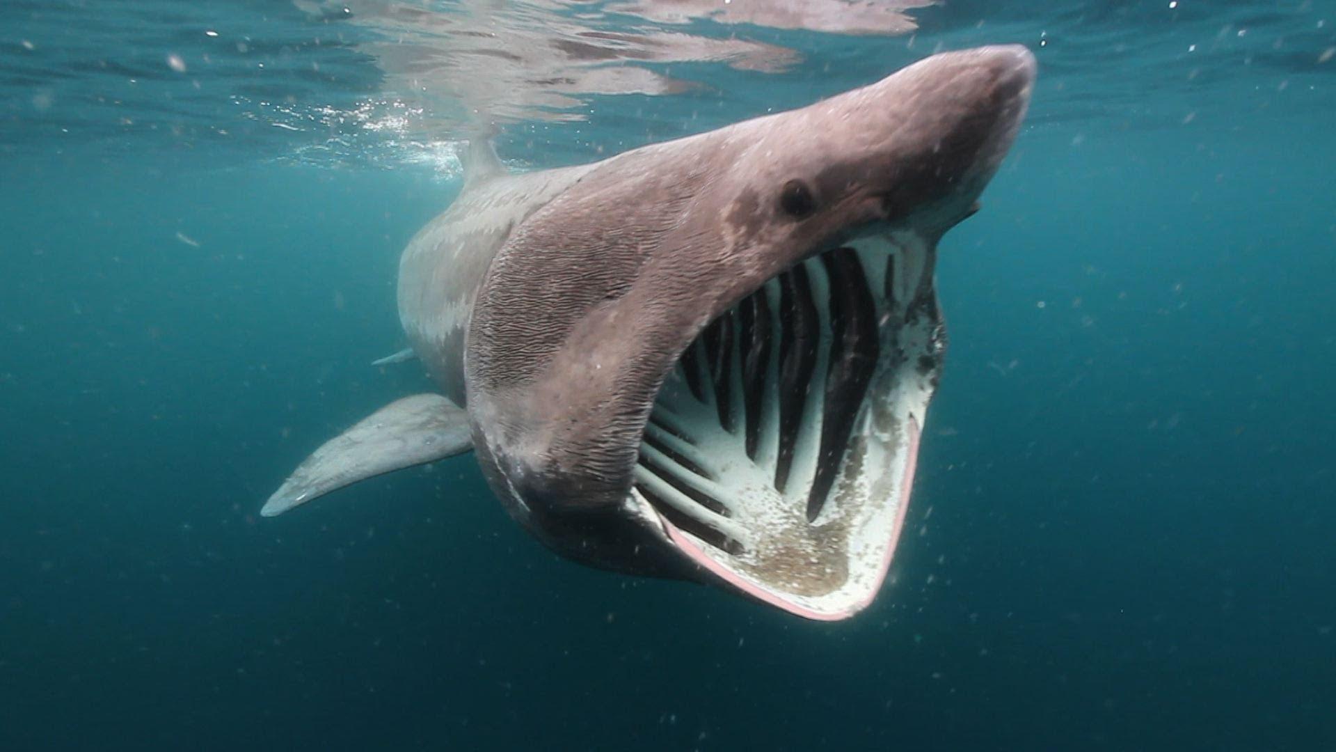 Basking Shark Wallpapers Animal Hq Basking Shark Pictures