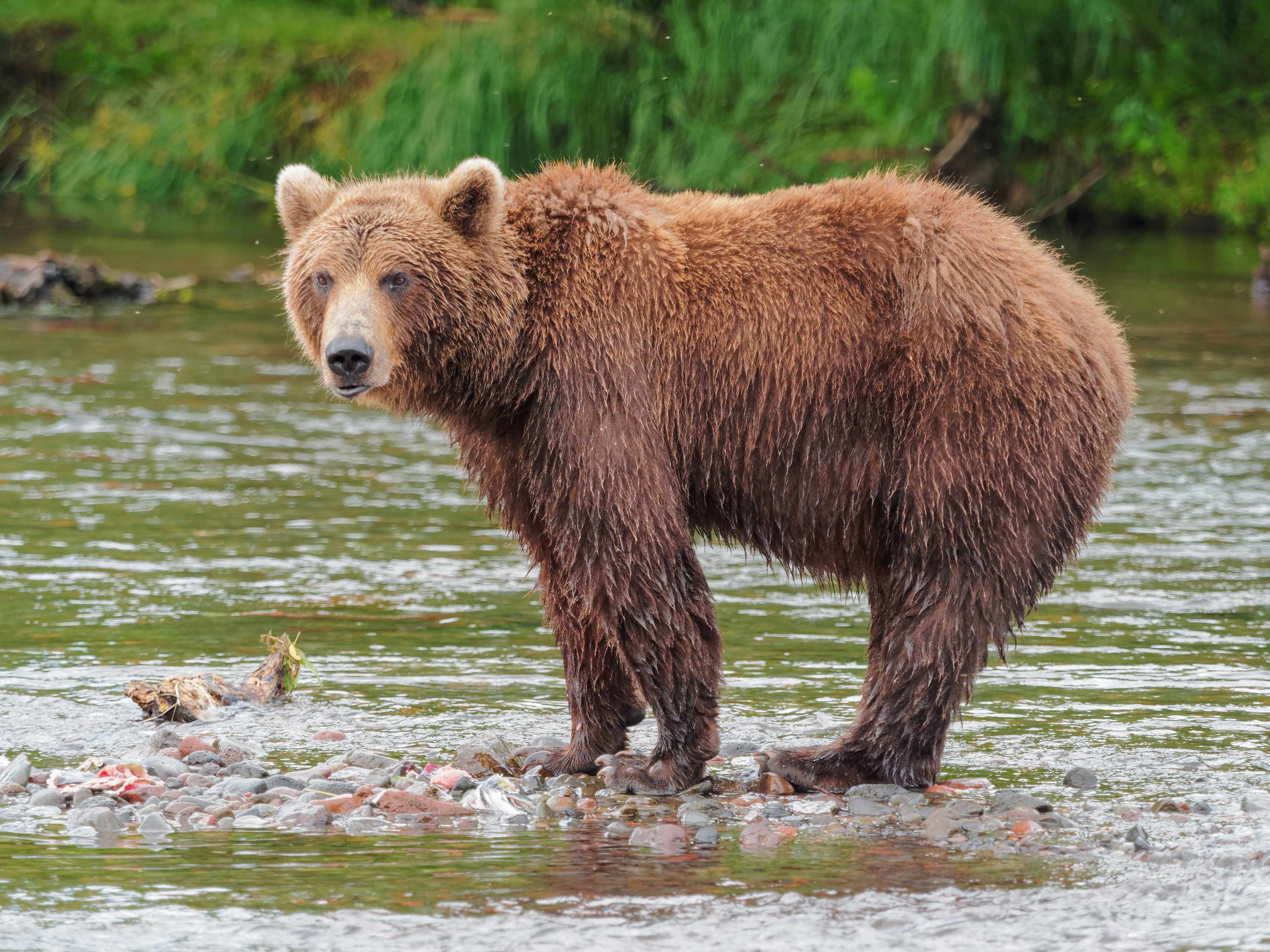Eastern Brown Bear High Quality Background on Wallpapers Vista