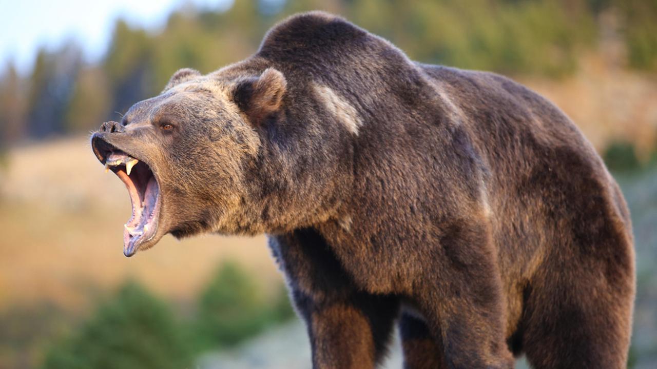 Bear HD wallpapers, Desktop wallpaper - most viewed