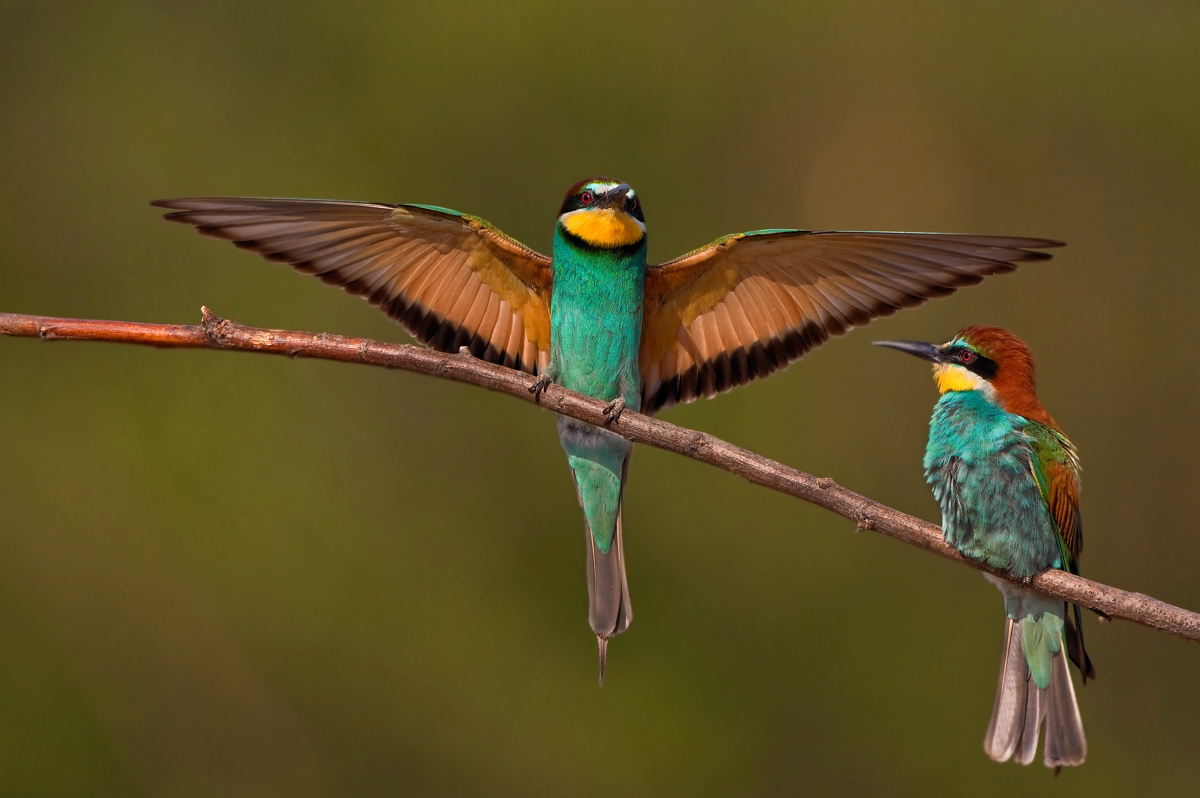 European Bee-eater High Quality Background on Wallpapers Vista