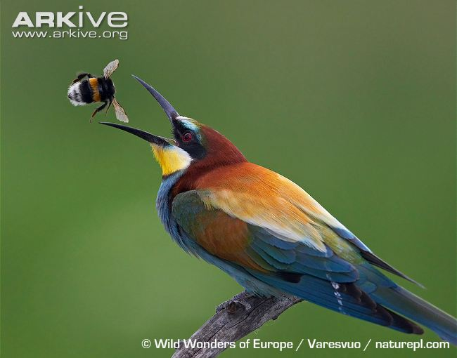 HQ European Bee-eater Wallpapers | File 45.61Kb