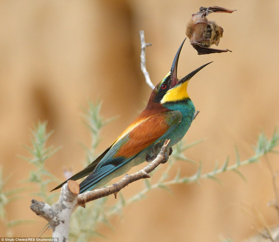 European Bee-eater Pics, Animal Collection