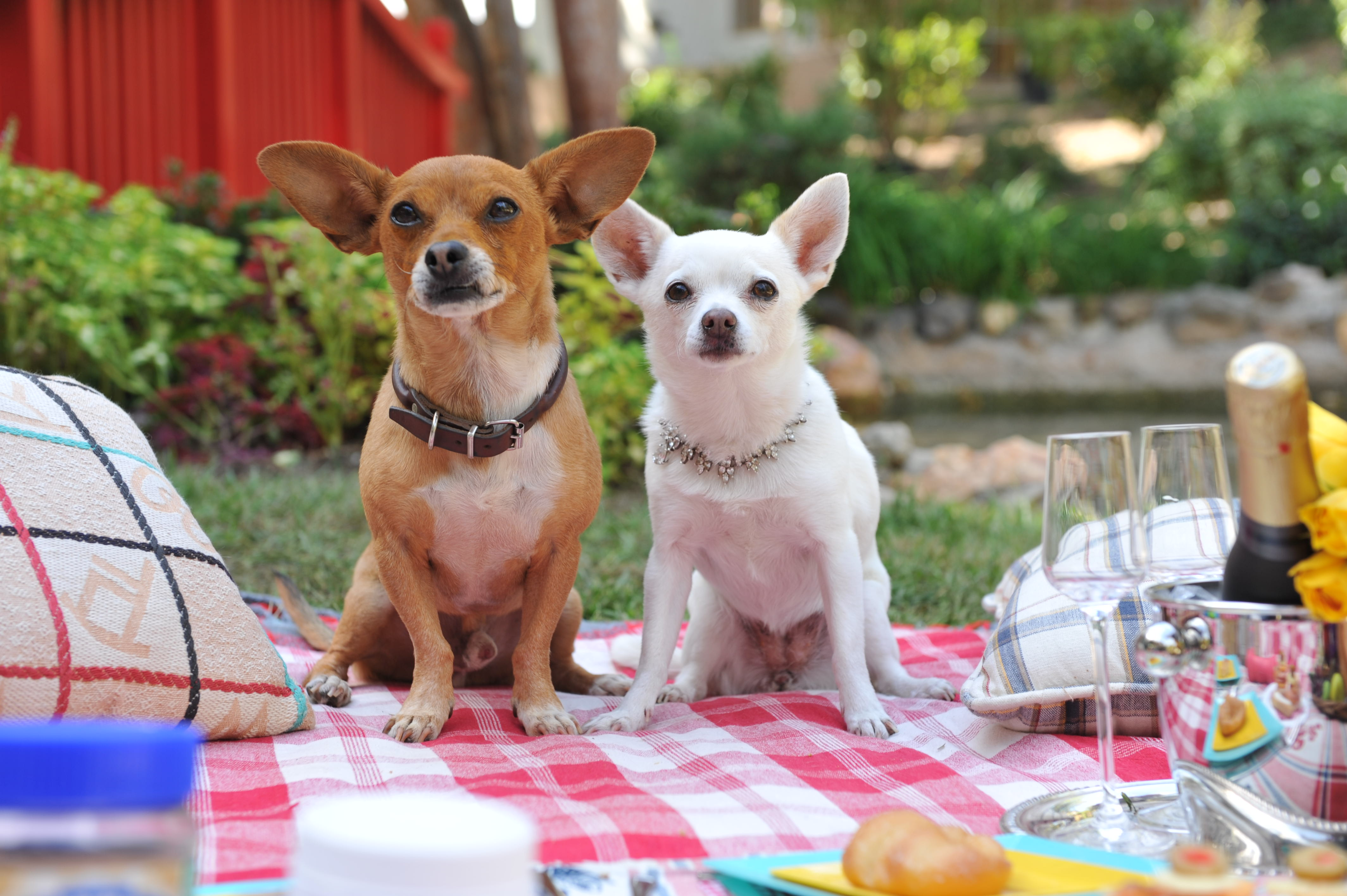Beverly Hills Chihuahua Backgrounds, Compatible - PC, Mobile, Gadgets| 4256x2832 px