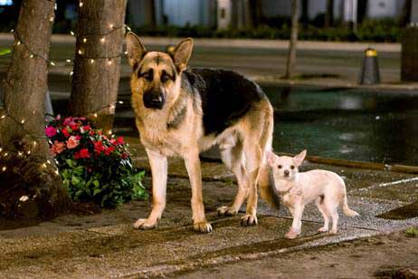 High Resolution Wallpaper | Beverly Hills Chihuahua 462x308 px