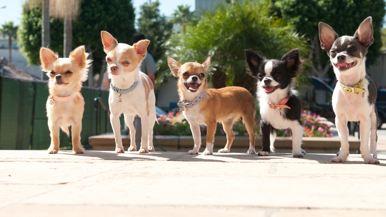 HD Quality Wallpaper | Collection: Movie, 1330x748 Beverly Hills Chihuahua