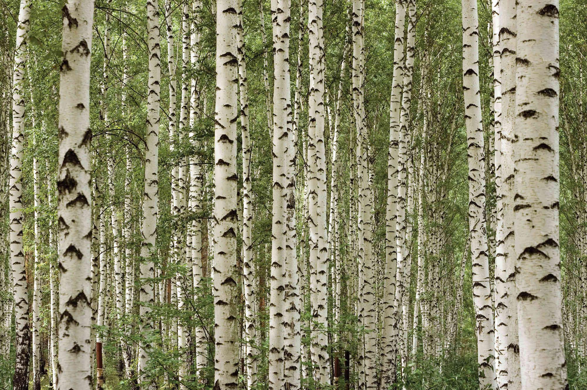 Birch HD wallpapers, Desktop wallpaper - most viewed