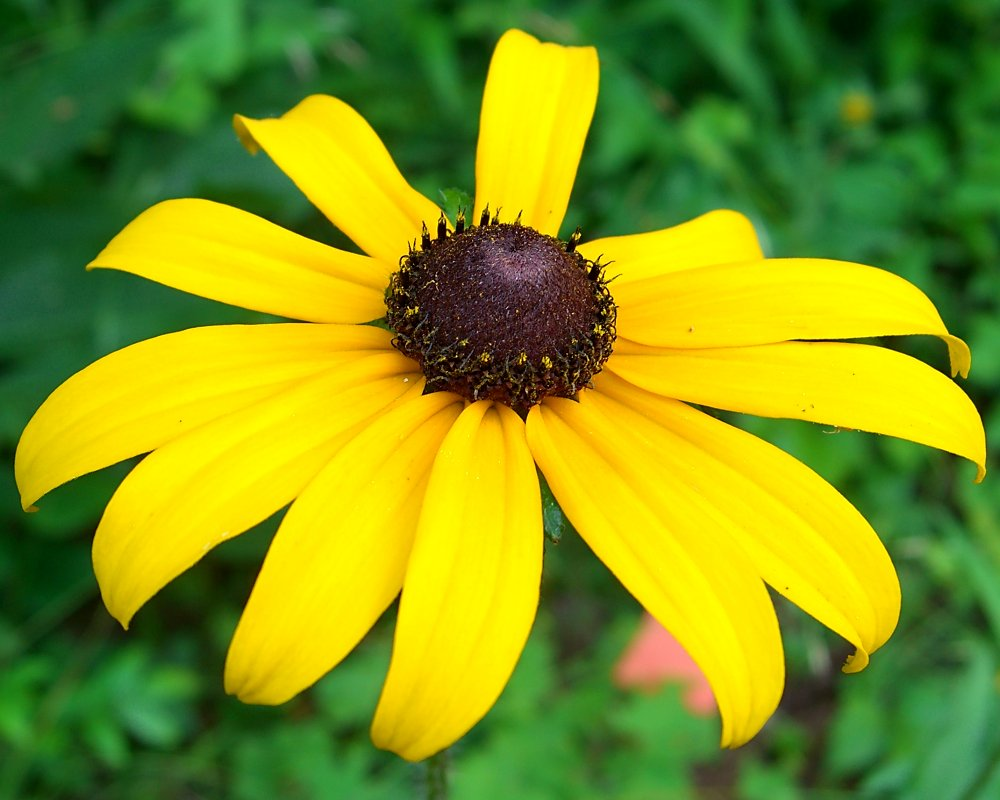 Black-Eyed Susan HD wallpapers, Desktop wallpaper - most viewed