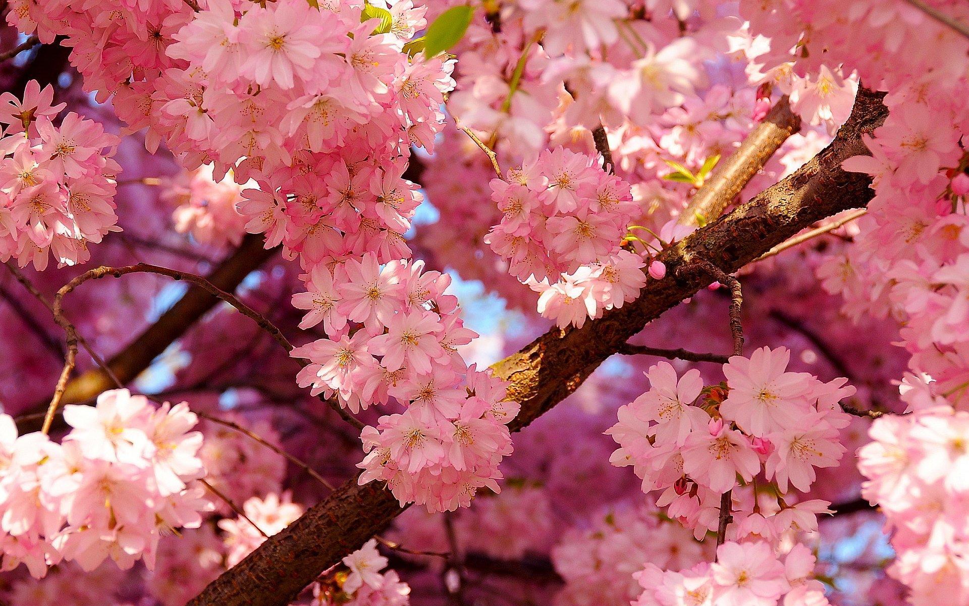 Blossom HD wallpapers, Desktop wallpaper - most viewed