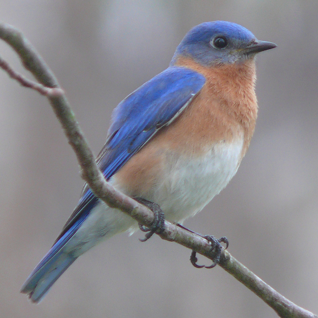 Nice wallpapers Eastern Bluebird 1024x1024px
