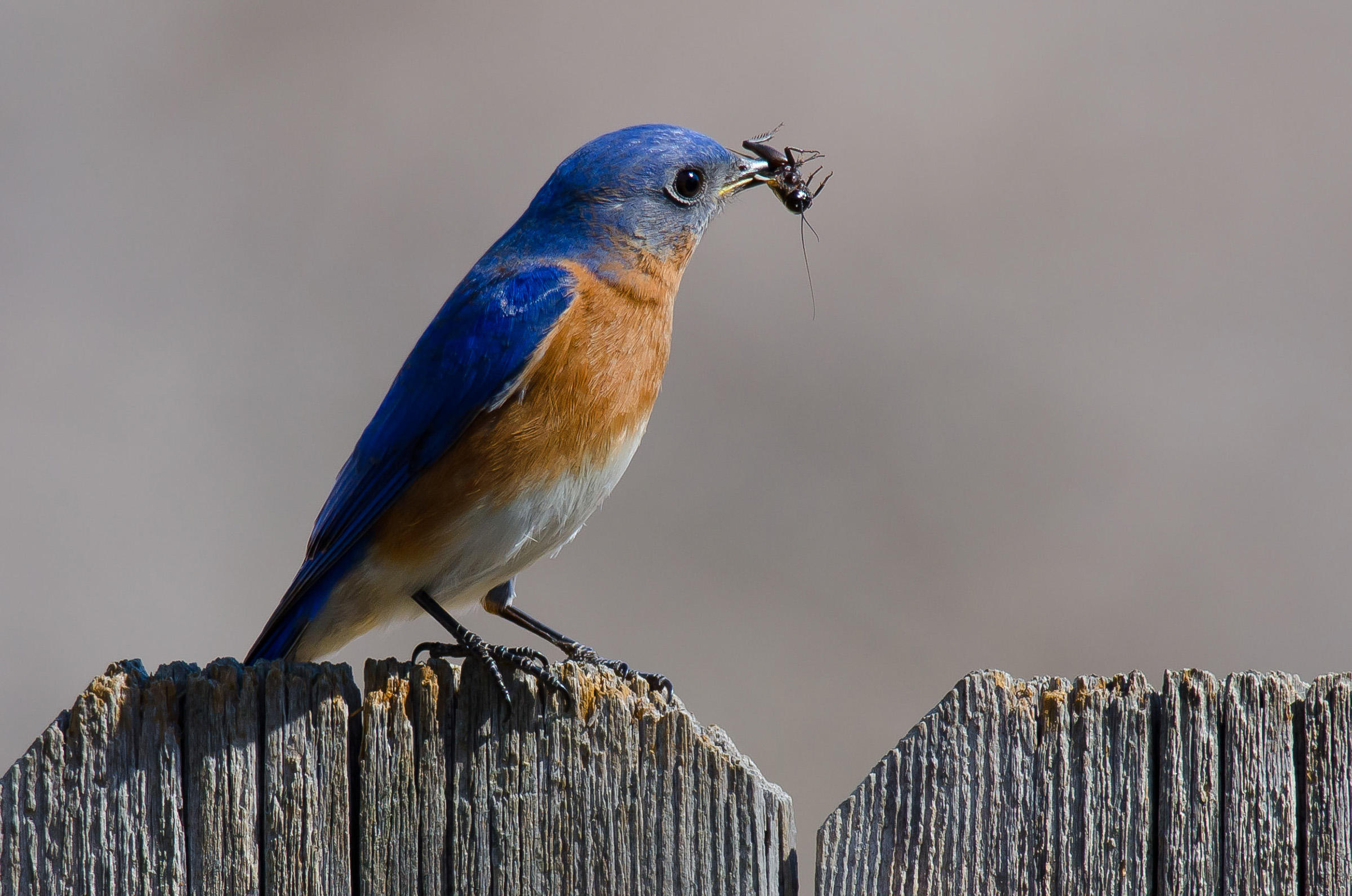 HD Quality Wallpaper | Collection: Animal, 2400x1591 Eastern Bluebird