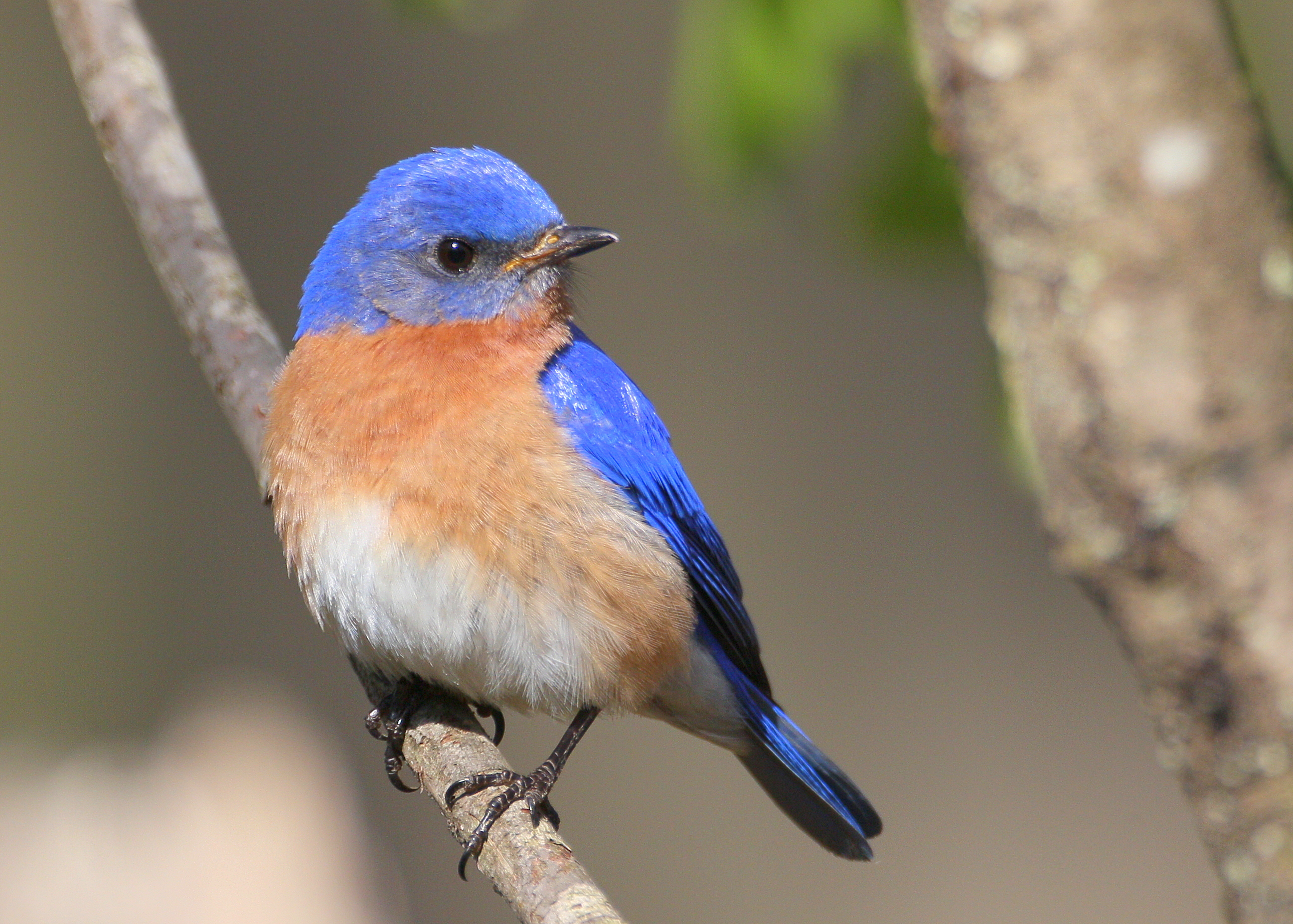 HQ Eastern Bluebird Wallpapers | File 4023.43Kb