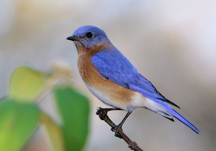 425x298 > Eastern Bluebird Wallpapers