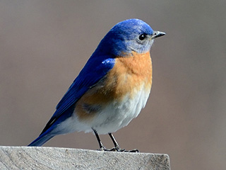 High Resolution Wallpaper | Eastern Bluebird 320x240 px