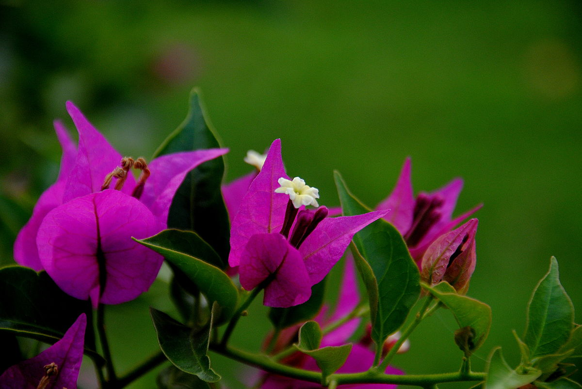 Nice wallpapers Bougainvillea 1200x803px