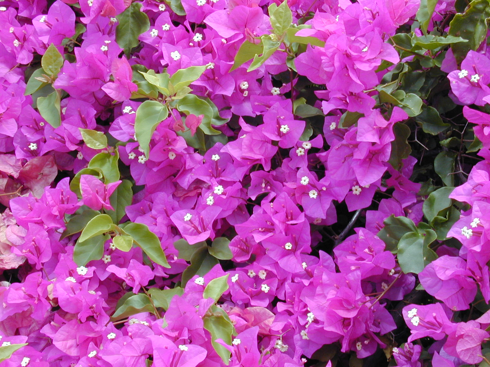 Nice Images Collection: Bougainvillea Desktop Wallpapers