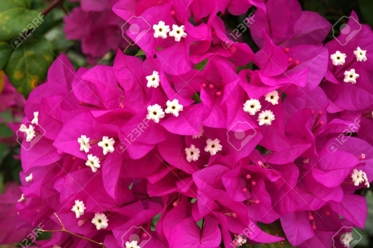 Bougainvillea Backgrounds on Wallpapers Vista