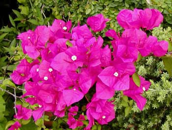 Amazing Bougainvillea Pictures & Backgrounds