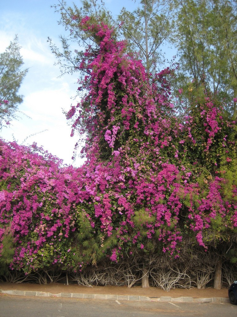 Bougainvillea High Quality Background on Wallpapers Vista