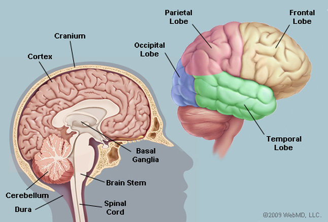 Images of Brain   646x438
