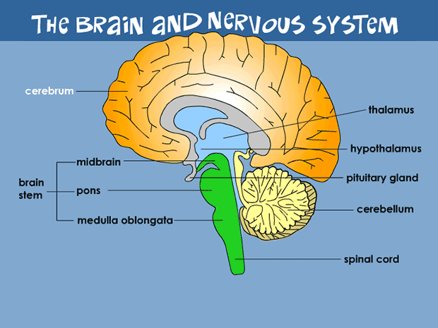 Brain Backgrounds on Wallpapers Vista