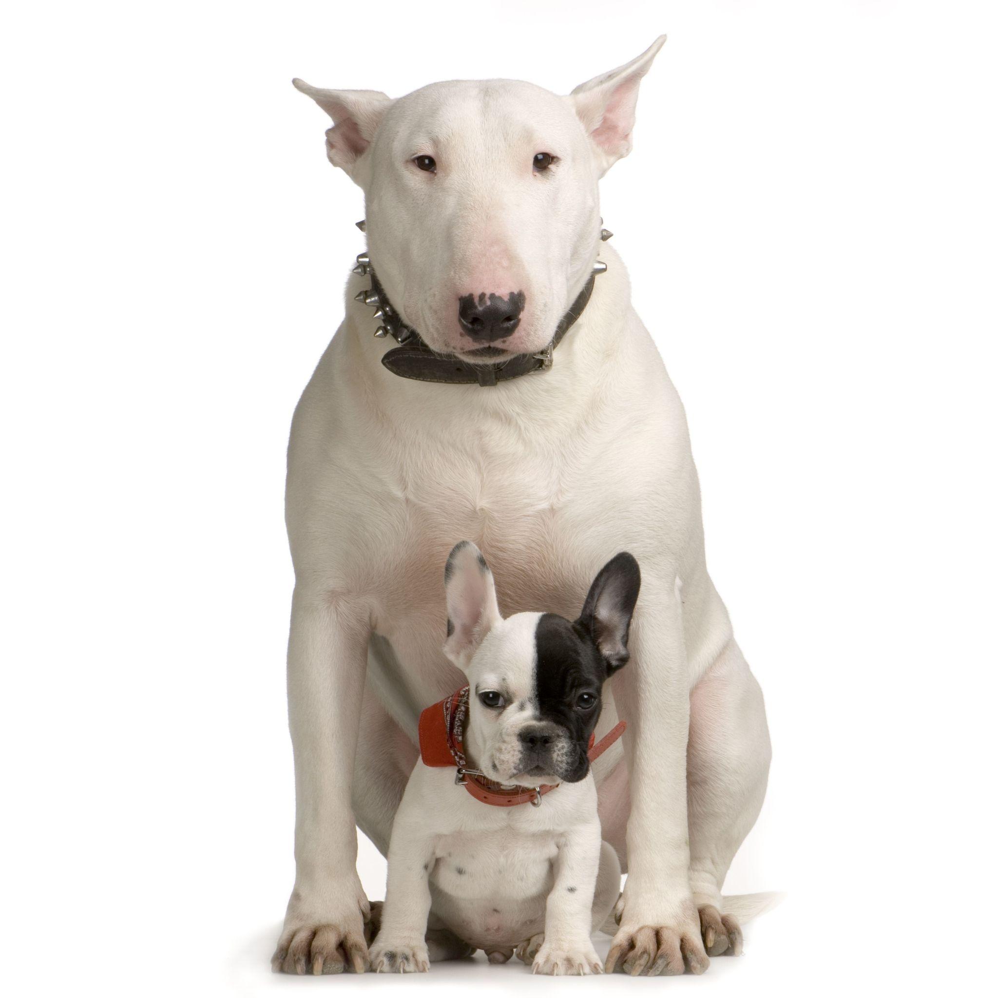 Bull Terrier Wallpapers Animal Hq Bull Terrier Pictures 4k Wallpapers 2019