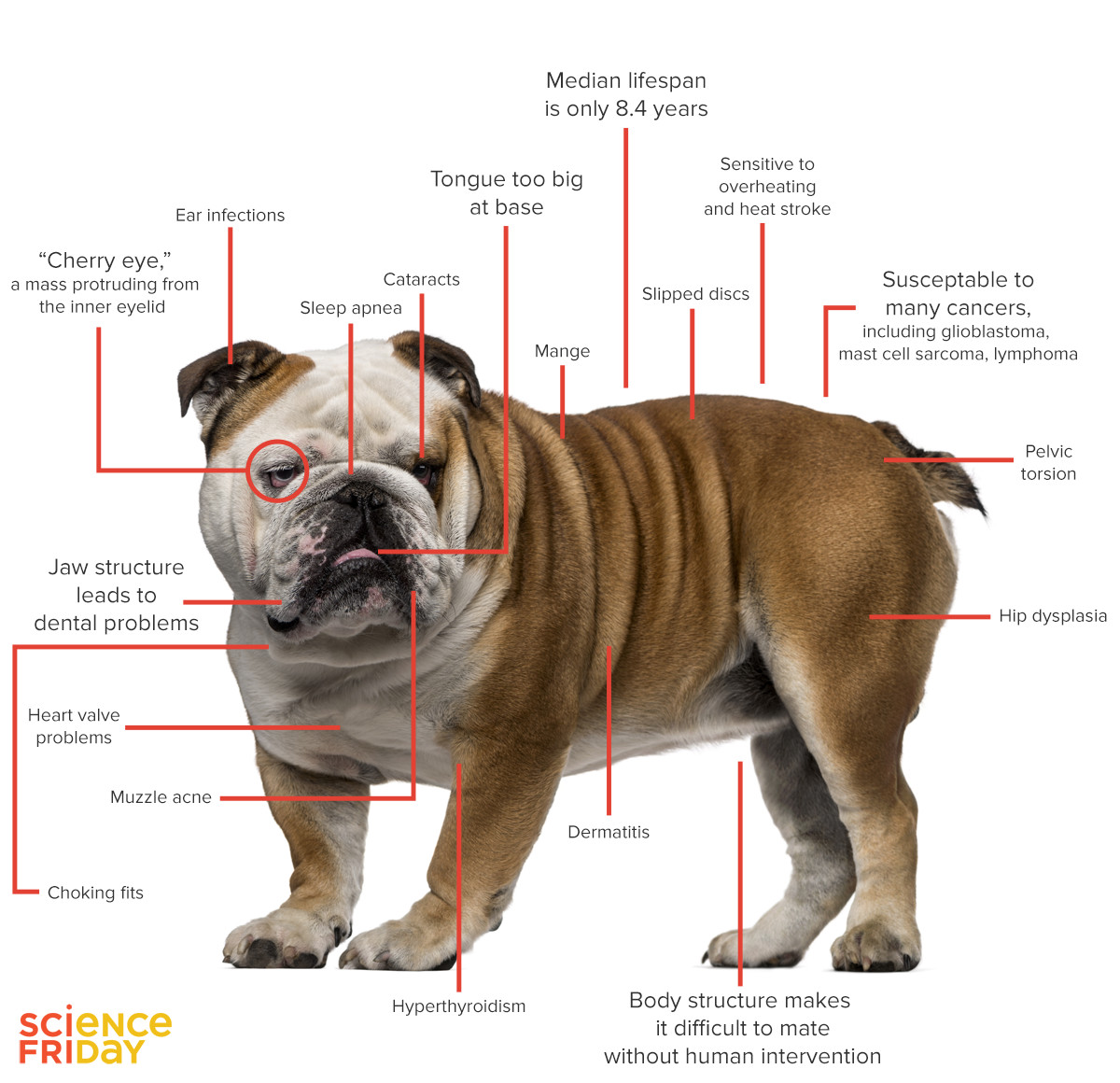 HQ English Bulldog Wallpapers | File 253.79Kb