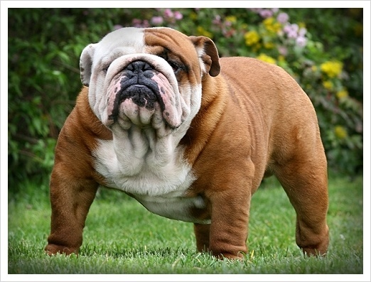 English Bulldog Pics, Animal Collection