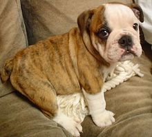Amazing English Bulldog Pictures & Backgrounds