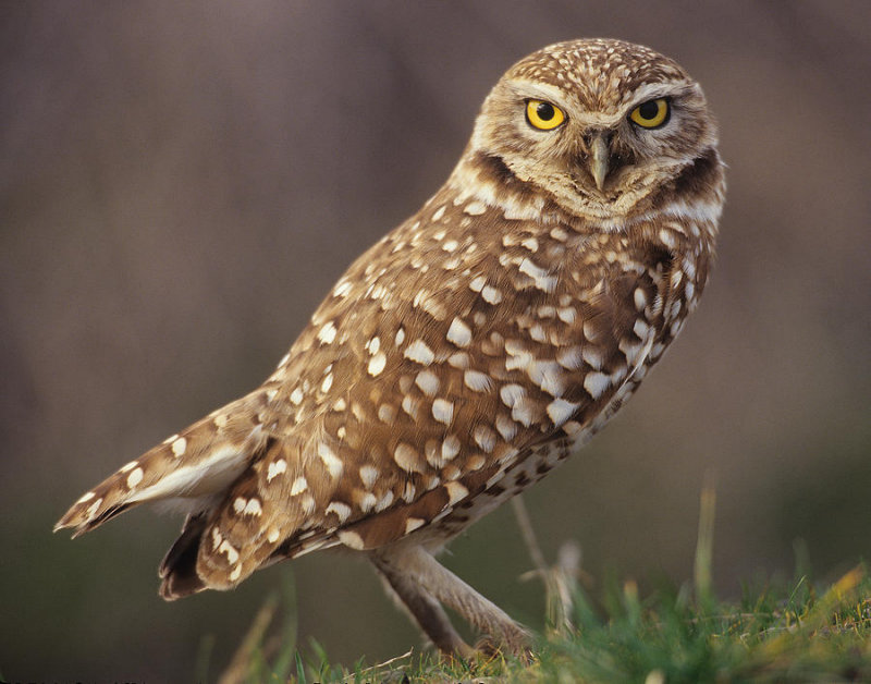 Owl Backgrounds, Compatible - PC, Mobile, Gadgets| 800x628 px