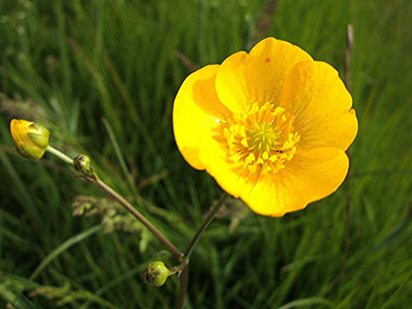 Buttercup Backgrounds on Wallpapers Vista