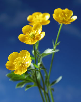Nice wallpapers Buttercup 309x388px