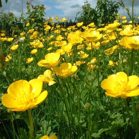 Amazing Buttercup Pictures & Backgrounds