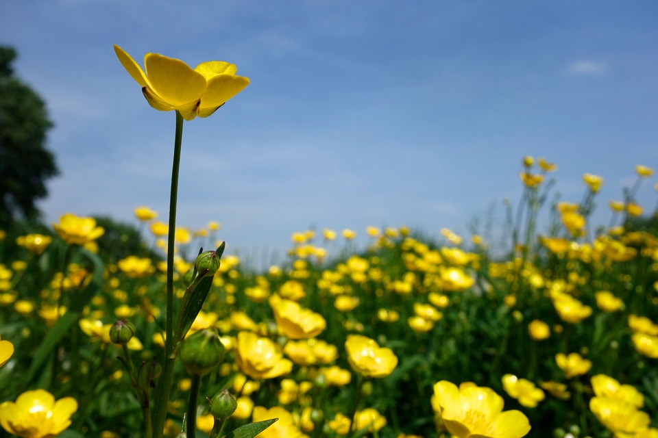 High Resolution Wallpaper | Buttercup 960x640 px