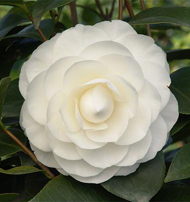 Camellia HD wallpapers, Desktop wallpaper - most viewed