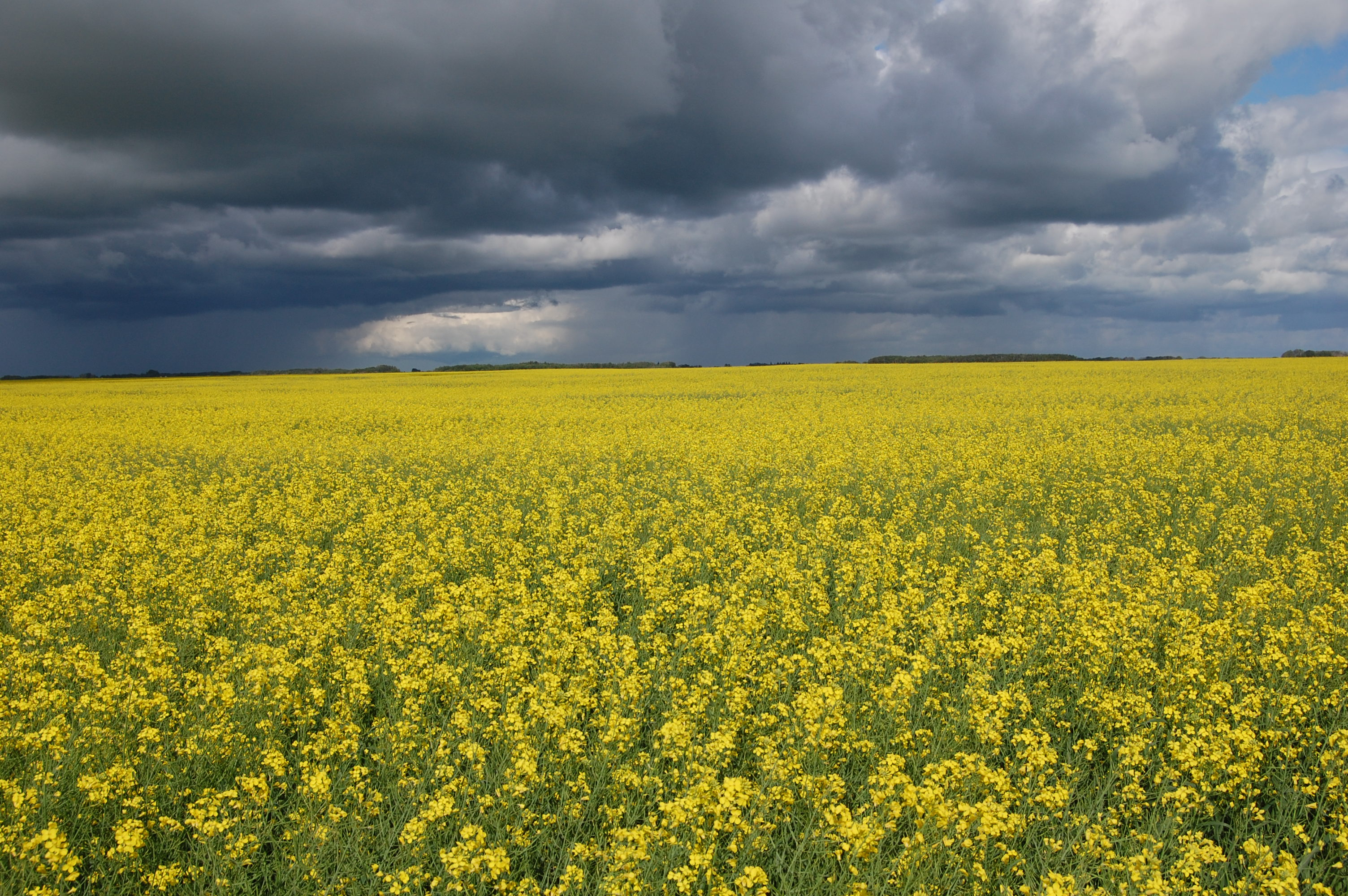 HQ Canola Wallpapers | File 1555.35Kb