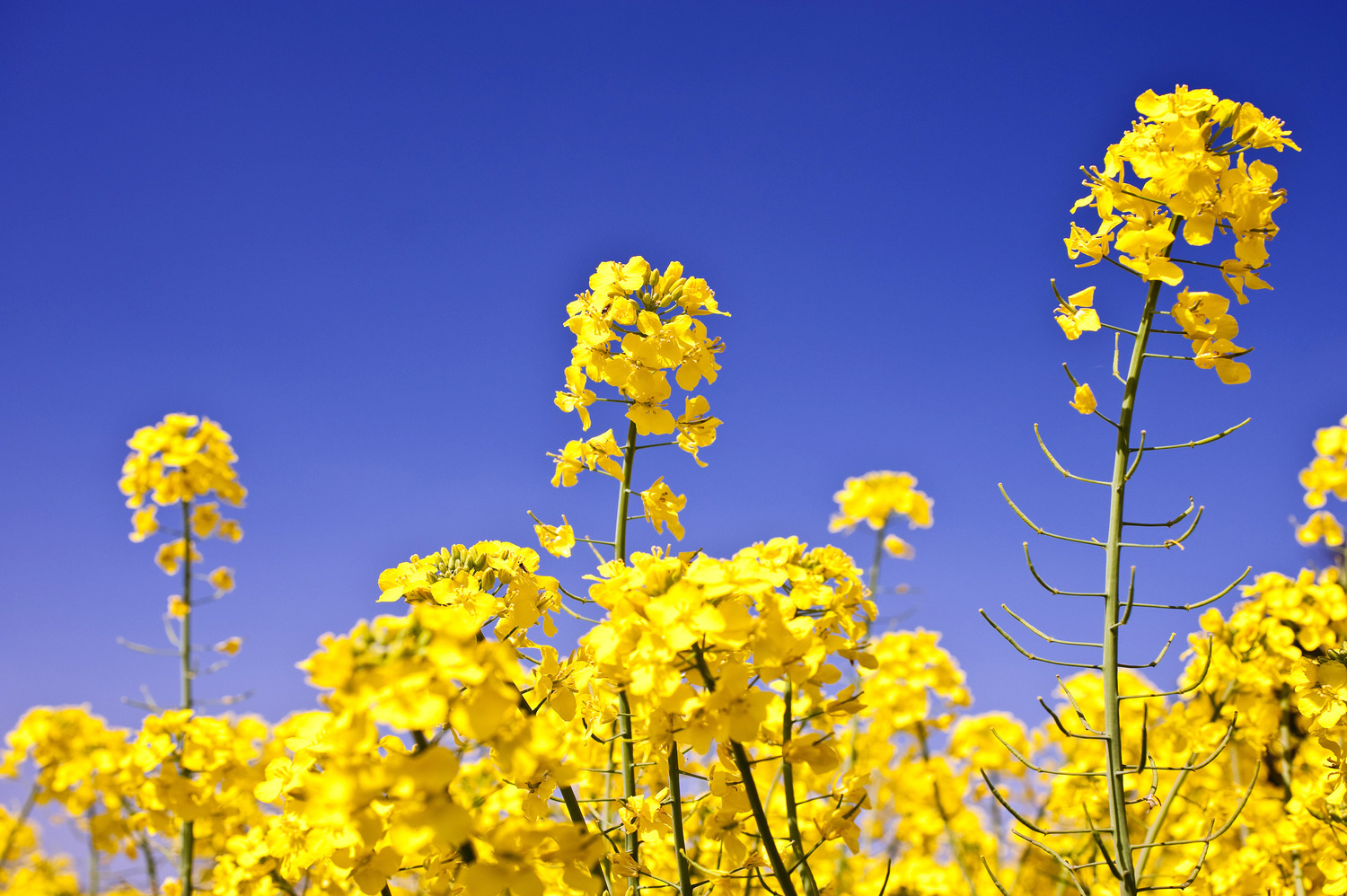 HD Quality Wallpaper | Collection: Earth, 1500x998 Canola