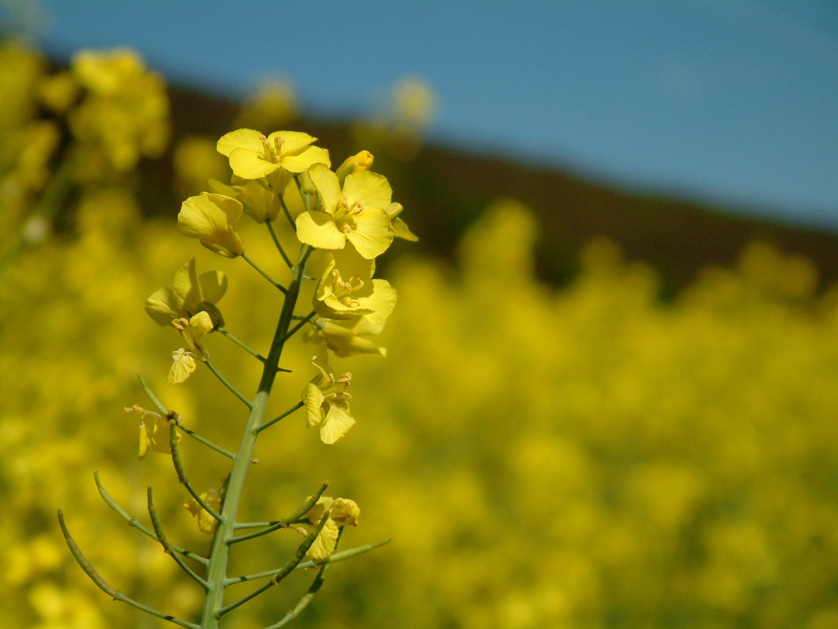 2832x2128 > Canola Wallpapers