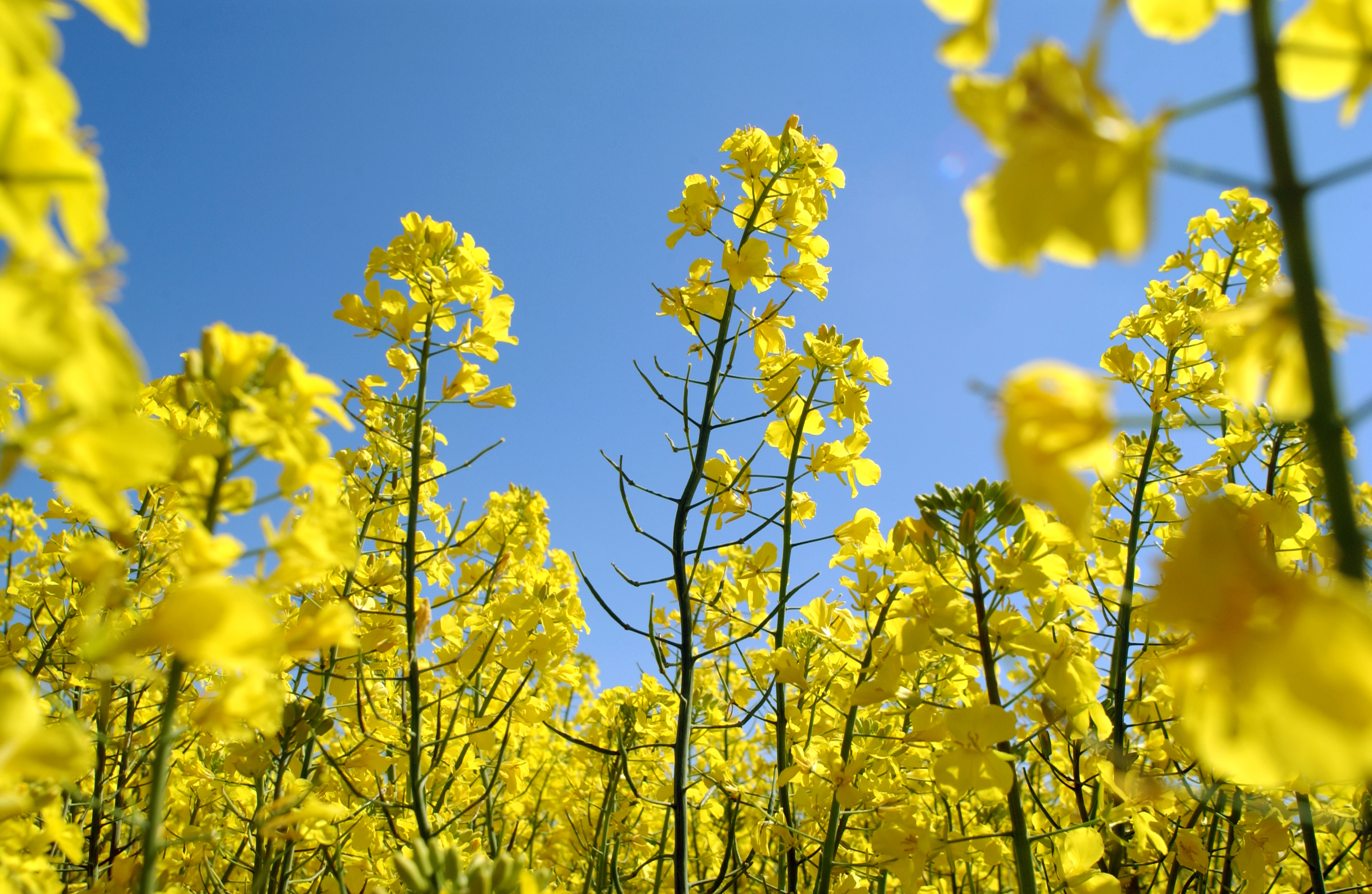 Nice wallpapers Canola 3008x1960px